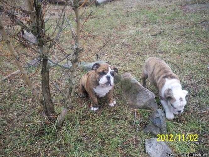 Two AKC Male English Bulldog Puppies - Price: 2000.00