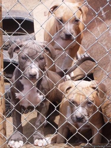 UKC Blue Nose Pitbull Puppies - Price: $500