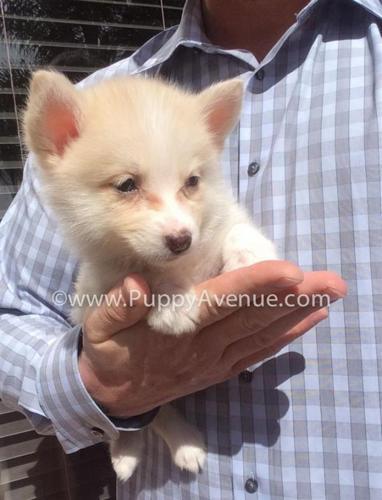Unique Pomsky Puppy For Sale Cream Pomeranian X Husky Mix For
