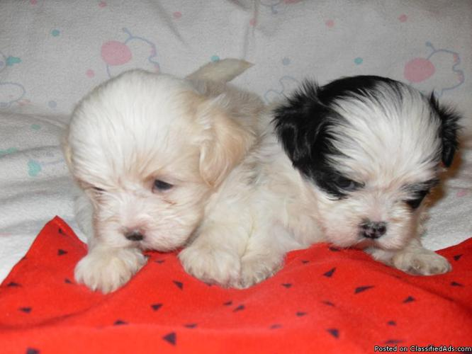 Very Tinny Christmas Puppies Shih Tzu Westies Yorkiesmalti Tzu