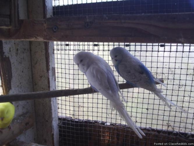 Violet English Budgies - Price: $85 for sale in Greensboro, Alabama