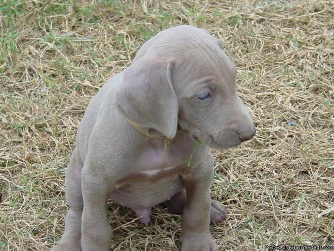 Weimaraner pups Bird Dogs / Hog Dogs / Family Pets - Price: $400