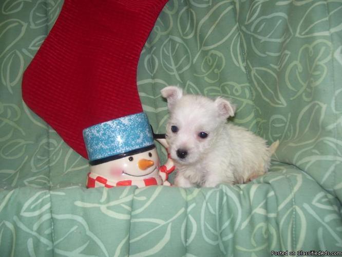 West Highland Terrier - Price: $400