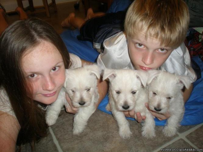 west highland terrier - Price: 700.00