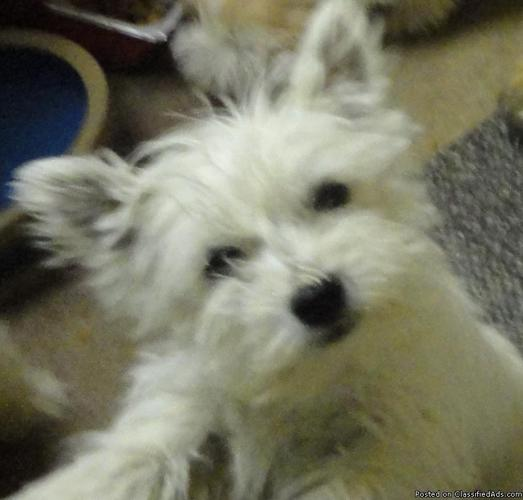 West Highland White Terrier Puppies Westies Price 50000 For