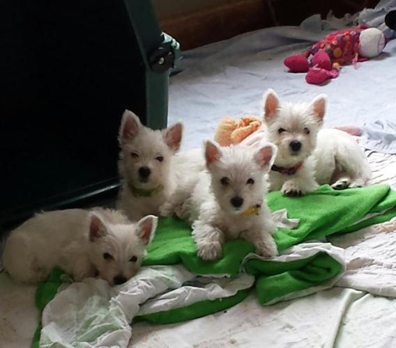 West Highland White Terrier Puppies for sale in Vermilion