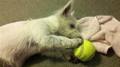 Westie Puppies for sale in Cullman, Alabama - Best pets Online