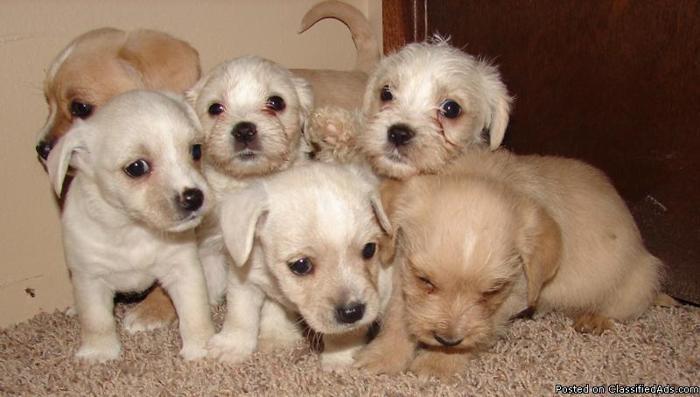 Westie/Cavalier mix puppies - Price: 250-300
