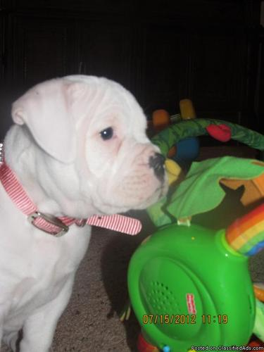 White OLDE English Bulldogge Puppy With Papers - Price: 650