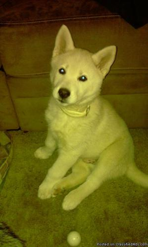 White Siberian Husky Puppy Price 300 For Sale In Tulsa Oklahoma