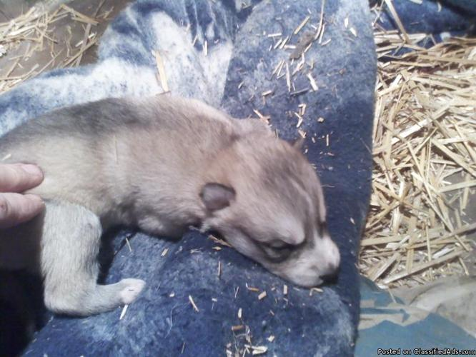 WOLF HYBRID PUPPIES - Price: $200 for sale in Mooreland, Indiana