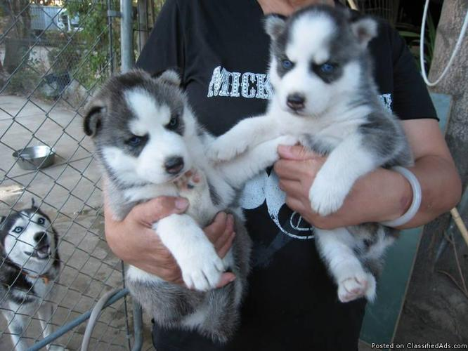 X-mas Male and female siberianhusky puppies ready for any loving and caring home. - Price: 700