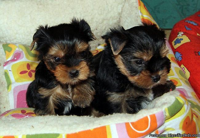 X-Mas Yorkies puppies for your family now** - Price: 0.00