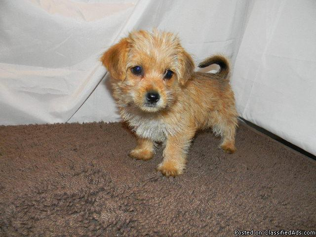 Yorkichon Bichpoo Puppies Price 350 For Sale In West Lafayette
