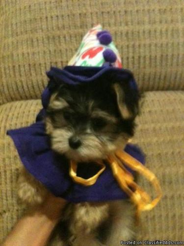Yorkie and Morkie Puppies for Sale - Price: $500 and $600