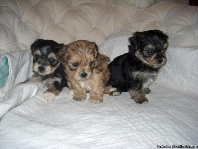 Yorkie Bichon Puppies for sale - Price: 250-300 in Cincinnati, Indiana