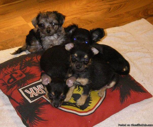yorkie chihuahua mix for sale yorkie chihuahua mix pups for sale 300 and up price 1019
