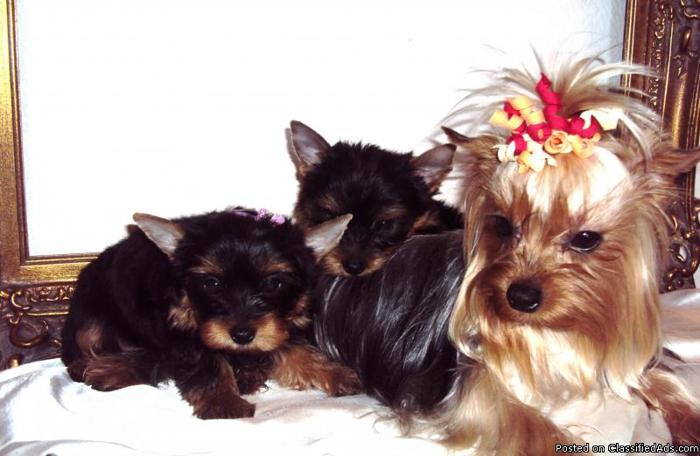 Yorkie for sale - Price: M/$500, F/$700