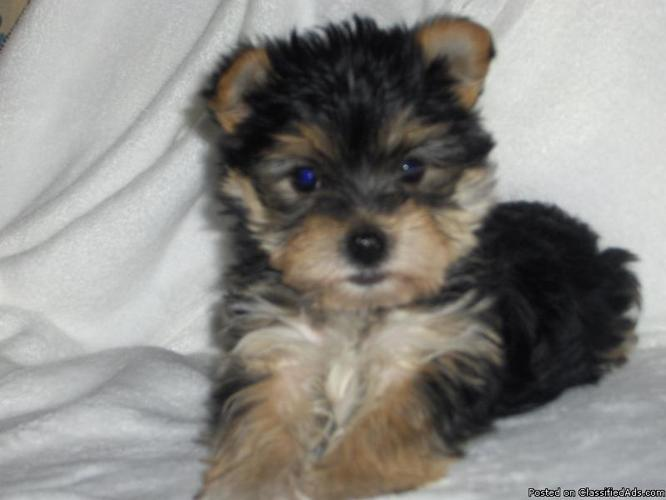 Yorkie And Pomeranian Mix Puppies Yorkie Maltese Mixed Puppy
