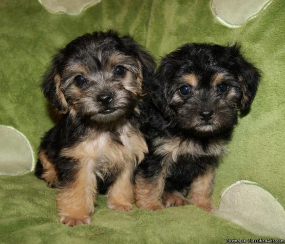 Yorkie-Poo puppies - Price: 200