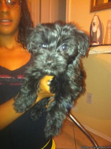 Yorkie poo Puppies!! - Price: $350 for sale in Gilbert