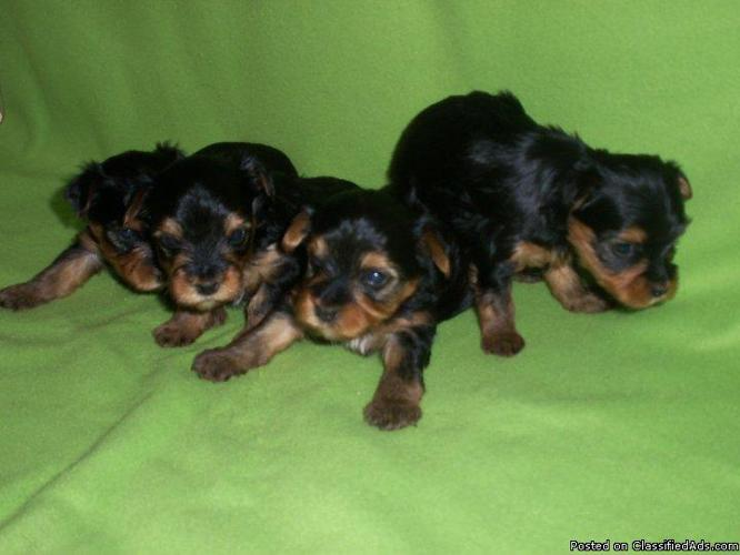 Yorkie Puppies - Price: $400