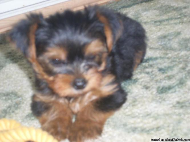 yorkie puppies - Price: $450