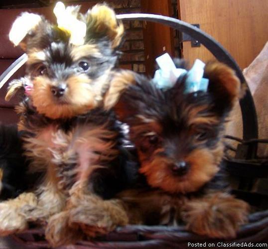 Yorkie Puppies Price 50000 For Sale In Kingman Arizona