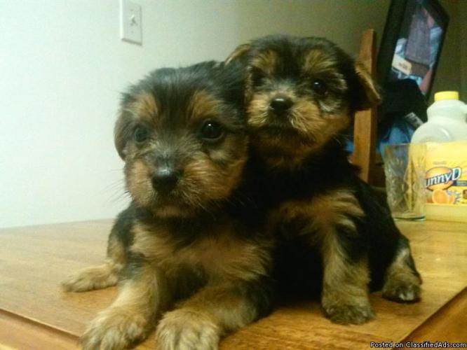 yorkie puppies - Price: 600-500