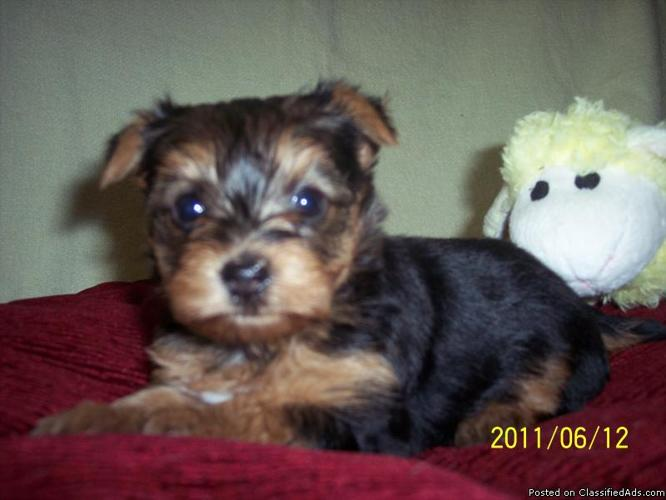 Yorkie puppy Willow - Price: 850.00