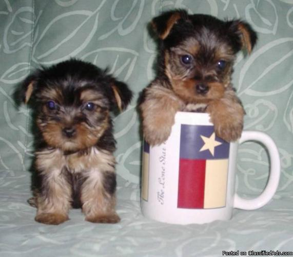 YORKIE PUPS $400+ Yorkie-Poos & SHORKIES $300+