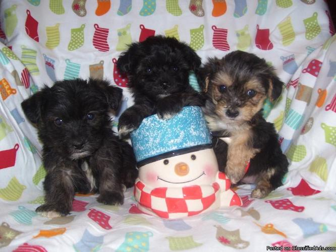 Yorkie Pups $400, Yorkie Poos & Shorkies $300/up - Price: 300