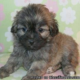 Yorkiepoos Shihapoos Shorkie puppies for sale in maryland - Price: 340
