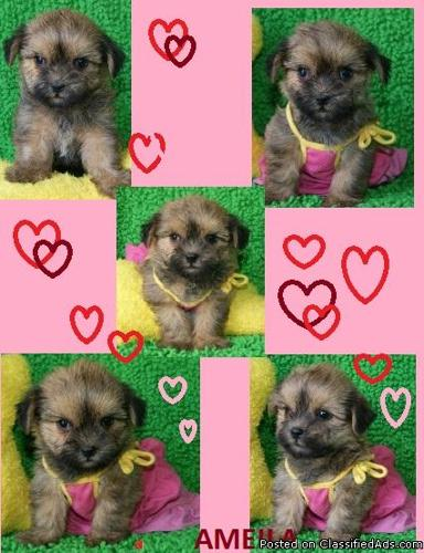 Yorkies and Shorkie puppies for sale in Va - Price: 380