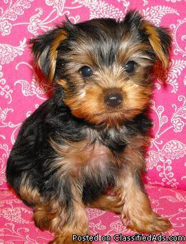 Yorkies Shih Tzus Maltese Toy Poodle Por Mi For In M Price