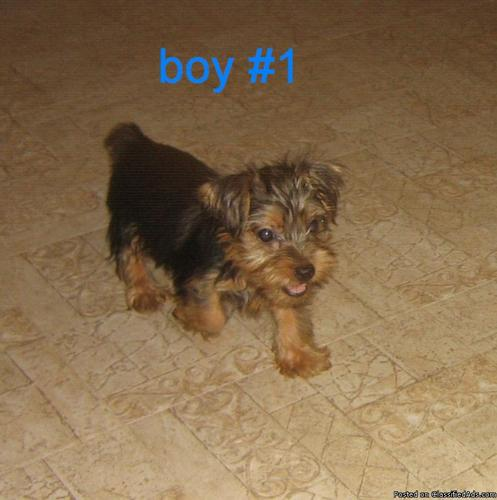 Yorkshire Terrier baby boys (Affordable!) - Price: 275