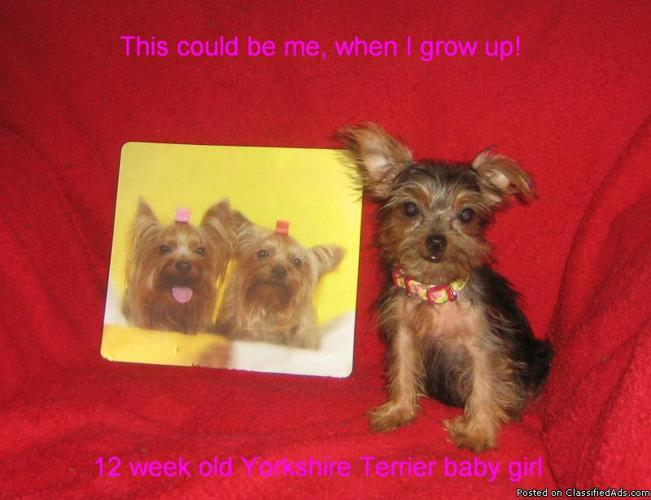 Yorkshire Terrier female (Pixie) - Price: 500