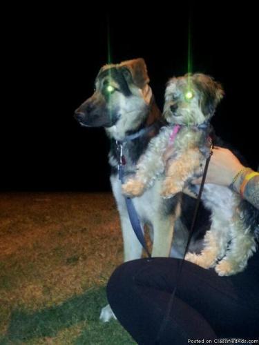 Yorkshire Terrier/Lhasa Apso Mix - Price: 225