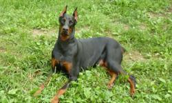 all shots up to date ,akc registered male doberman located in Surgoinsville TN I need to get rid of him , born 9/1/10