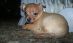 We have one male purebred Chihuahua ready for a good home. He's only 10 weeks and has such a sweet face you can't help but want to snuggle him. He's a short hair, sandy in color with a few adorable white toes. His mom is 3lbs, black, brown and white; dad