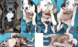Beautiful 10 Weeks Old Pit Puppies. They are blue and assortment different kind of colors which there are only five males and one female. These puppies had there declaws removed plus have been updated on their shots too. This picture will give you an idea