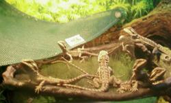 Well started on crickets, meal worms and a variety of vegetables. Yellow x Lavender, start to color out around 5 mos old. Great starter reptile or family pet. Please e-mail aabeardies@gmail.com for more info. $20 ea.