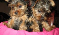I have 1 female Toy Yorkies that is 10 weeks old.. Have first 2 shots.. Will still need 1 more Has been de-wormed. Has United all Breed Registry that comes with a 5 generation pedigree. Size will be 4 to 6 pounds fully grown. Born 5-12-2011 She does have