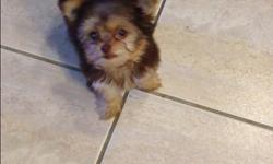 12 week old yorkie pup. He is the last pup out of a litter of 3. He is going to be 3 pounds max adult weight. The mom is 2.8 pounds and the dad is 2.5 pounds. He is currently Up to date on shots. Please contact if you are interested. -- or