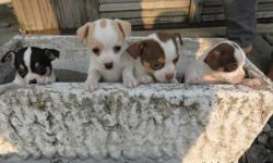 These playful babies are looking for a loving home, have 2 Females and 2 Males all shorthair, Multi colors to choose from.. They were born March 8th, and eating and drinking on there own..And will be ready in just a few days at 6 weeks old.... The males