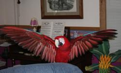 Fred is a 16 year young beautiful green wing macaw. He is very gentle and great with everyone.He talks and of course is in excellent health as far as we know. His cage goes with him along with two others and one hanging playstand and one playstand on a