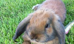ALL INCLUSIVE!!!  We have a beautiful Light brown Holland Lop 1 1/2 year old bunny and will include All of her things from her hutch, her carrying case, her secondary homes, litter boxes, collar, leash and bows.  She is a house bunny