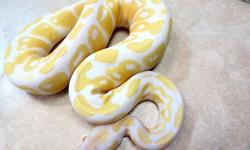 I am looking for any reptiles pythons lovers home or breader who like like to ads my albino and piebald pythons to his or here collection or family. They include,1.1 Albino ball pythons,1.1Piebald ball pythons,Axanthic,Bumblebee,Clown,Lesser Platinum