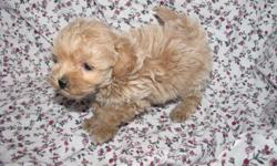This sweet tiny boy was born on Feb. 1st 2011. Mom is a 6LB Maltese Dad is a 5LB AKC Champion sired Toy Poodle. Pup will be little. Pup is up to date on shots and worming. Pups dewclaws are removed. Pup is hypoallergenic. Pup is well socialized with