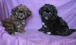 This sweet girl was born on Dec-20-2010. Mom is a 8LB Peekinese Dad is a 5LB AKC Champion sired Toy Poodle. Pup is up to date on shots worming. Pups dewclaws are removed. Pup is hypoallergenic. Pup is well socialized with children. There is the black girl